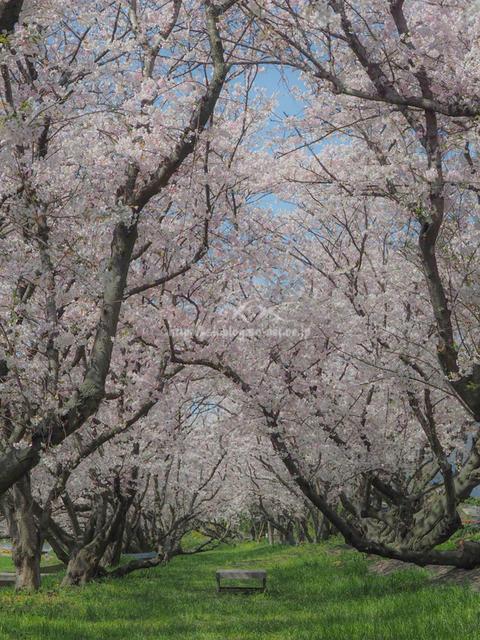 吉田の桜b.jpg